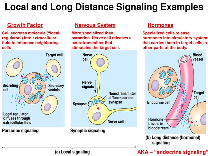 Local and Long Distance Signaling Examples