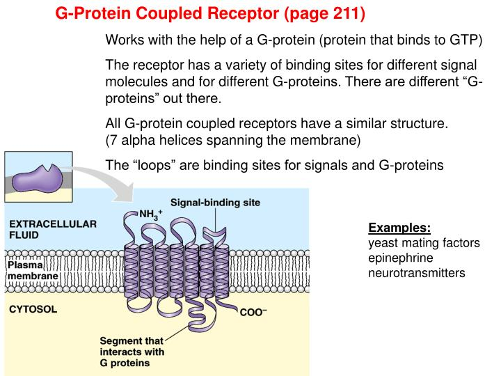 G-Protein Coupled Receptor (page 211)