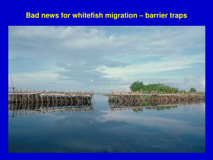 Bad news for whitefish migration – barrier traps