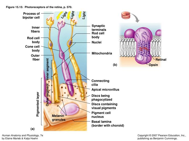 Figure 15.15:  Photoreceptors of the retina, p. 570.