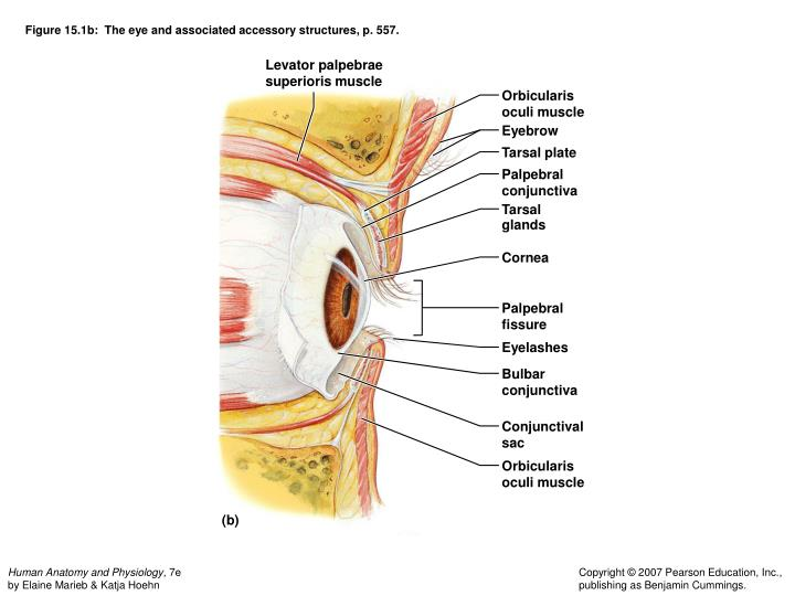 Figure 15.1b:  The eye and associated accessory structures, p. 557.