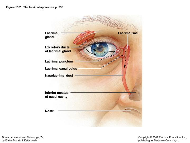 Figure 15.2:  The lacrimal apparatus, p. 558.