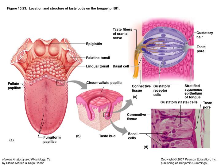 Figure 15.23:  Location and structure of taste buds on the tongue, p. 581.