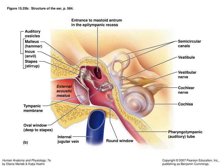 Figure 15.25b:  Structure of the ear, p. 584.