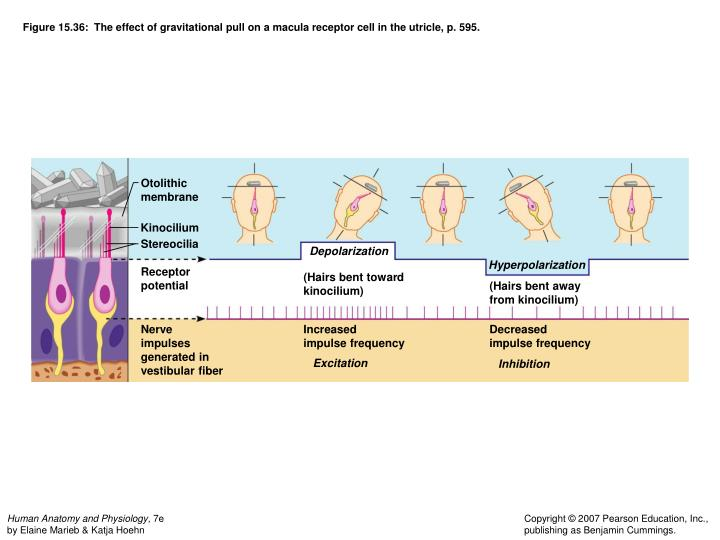 Figure 15.36:  The effect of gravitational pull on a macula receptor cell in the utricle, p. 595.