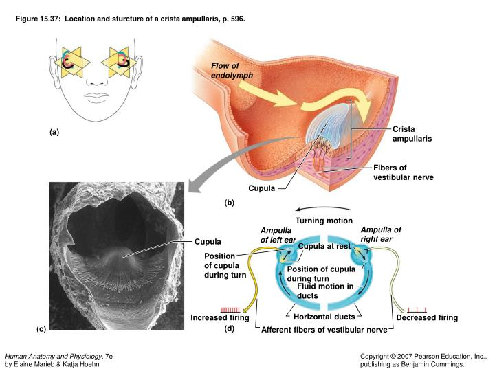 Figure 15.37:  Location and sturcture of a crista ampullaris, p. 596.