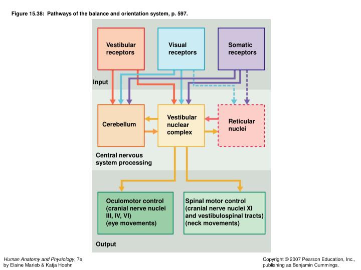 Figure 15.38:  Pathways of the balance and orientation system, p. 597.