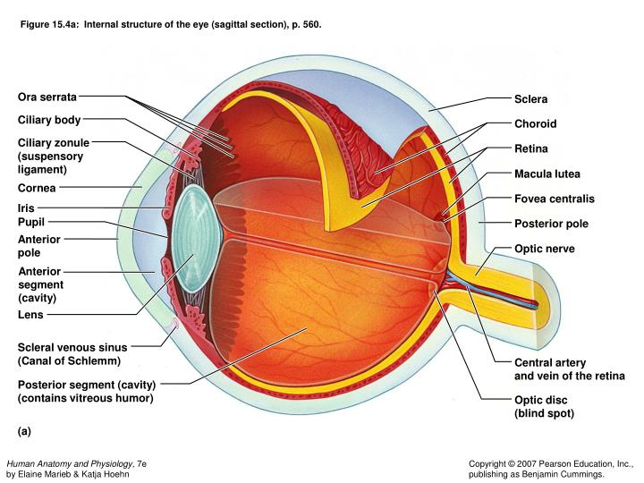 Figure 15.4a:  Internal structure of the eye (sagittal section), p. 560.