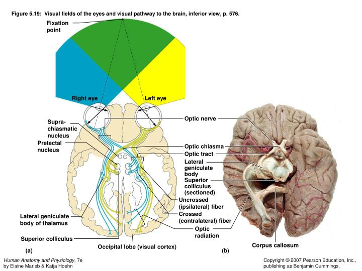 Figure 5.19:  Visual fields of the eyes and visual pathway to the brain, inferior view, p. 576.