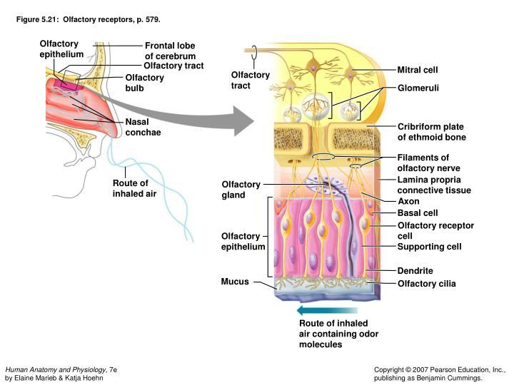 Figure 5.21:  Olfactory receptors, p. 579.