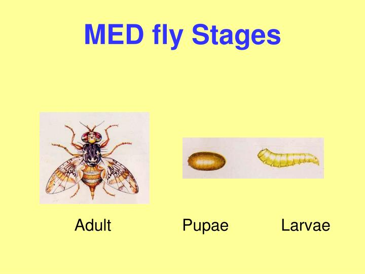 MED fly Stages