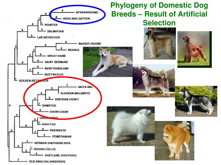 Phylogeny of Domestic Dog Breeds – Result of Artificial Selection