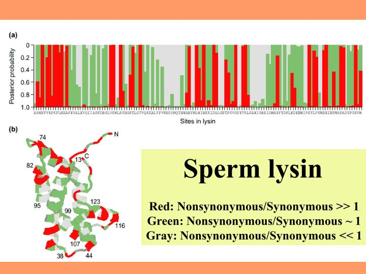 Sperm lysin