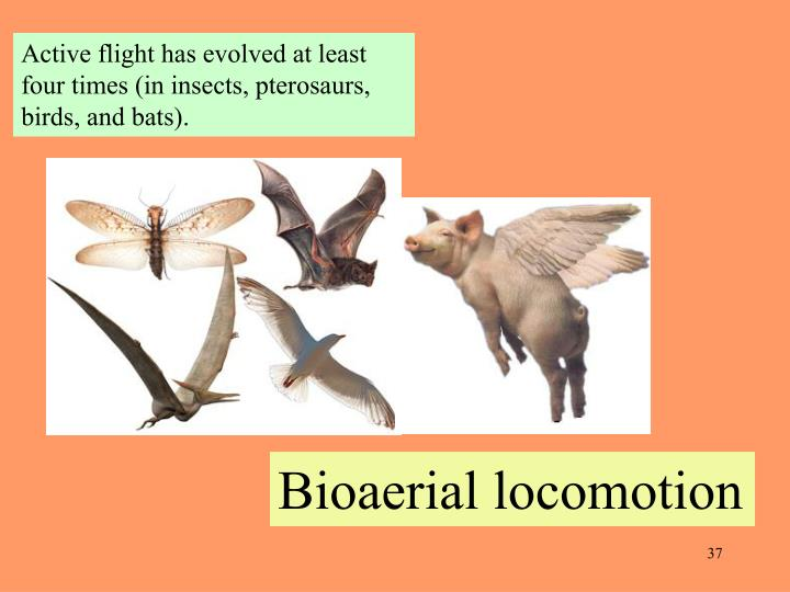 Active flight has evolved at least four times (in insects, pterosaurs, birds, and bats).