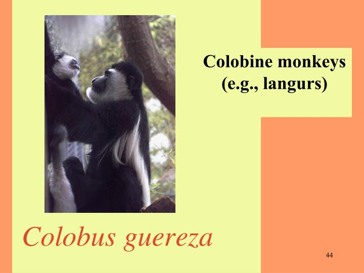 Colobine monkeys (e.g., langurs)