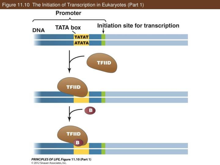 Figure 11.10  The Initiation of Transcription in Eukaryotes (Part 1)