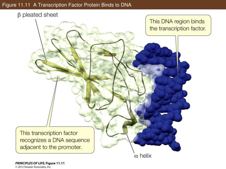 Figure 11.11  A Transcription Factor Protein Binds to DNA