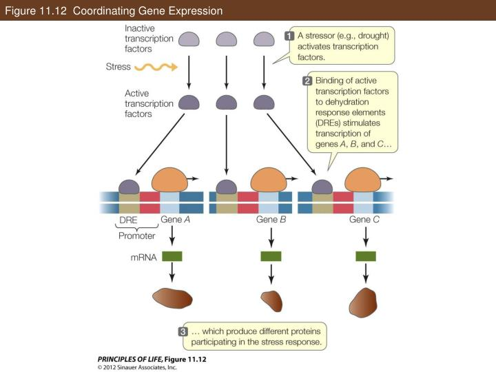 Figure 11.12  Coordinating Gene Expression