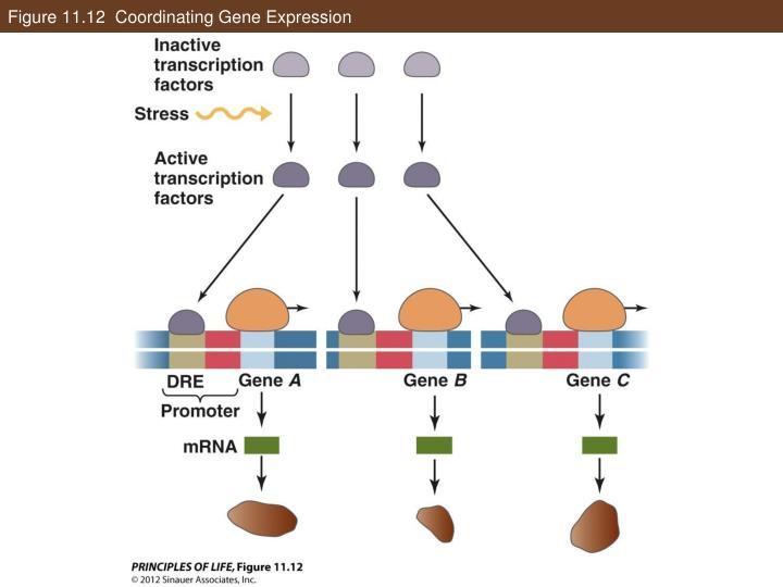 Figure 11.12  Coordinating Gene Expression