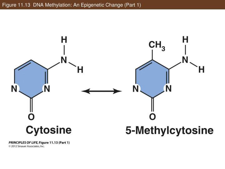Figure 11.13  DNA Methylation: An Epigenetic Change (Part 1)