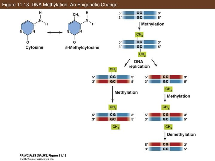 Figure 11.13  DNA Methylation: An Epigenetic Change