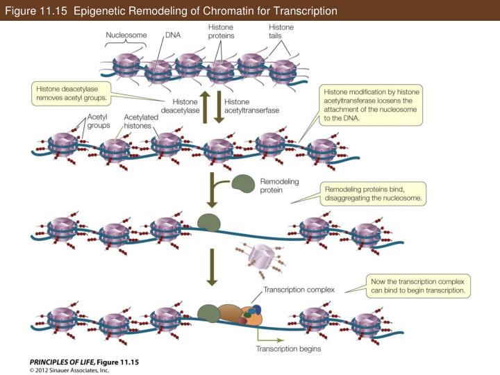 Figure 11.15  Epigenetic Remodeling of Chromatin for Transcription