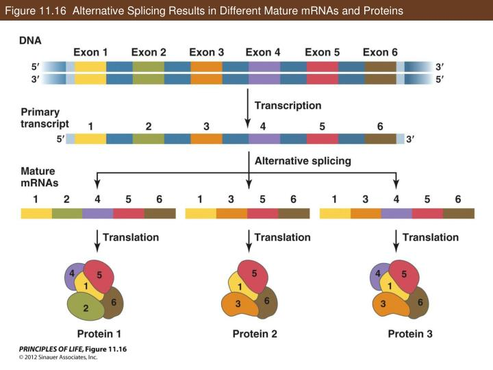 Figure 11.16  Alternative Splicing Results in Different Mature mRNAs and Proteins