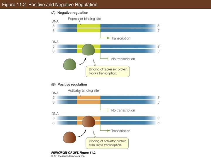 Figure 11.2  Positive and Negative Regulation