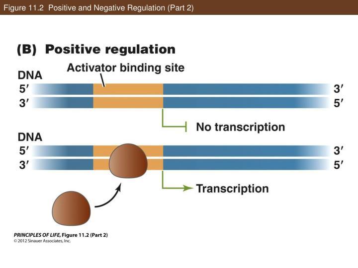 Figure 11.2  Positive and Negative Regulation (Part 2)