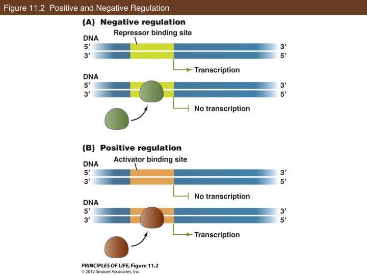Figure 11.2  Positive and Negative Regulation