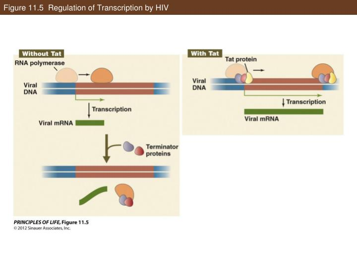 Figure 11.5  Regulation of Transcription by HIV