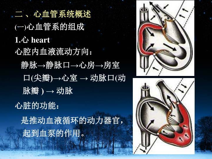 二 、心血管系统概述