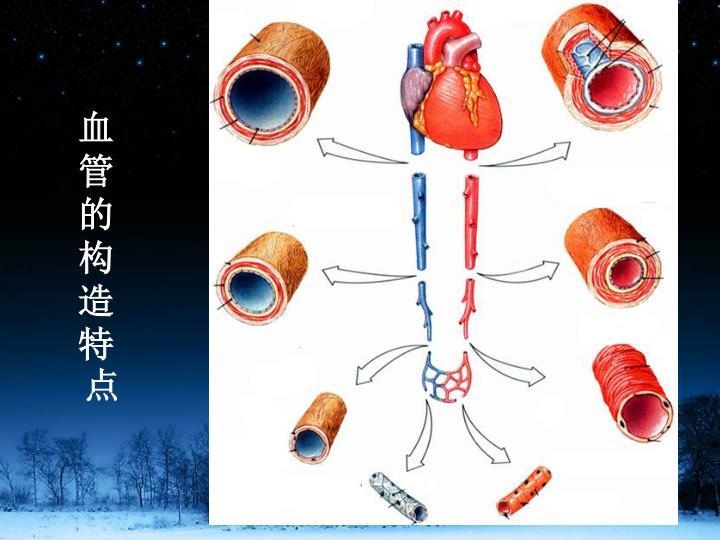 血管的构造特点