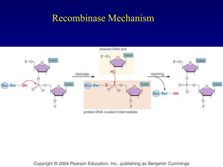 Recombinase Mechanism