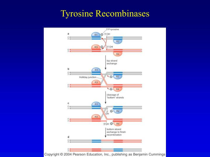 Tyrosine Recombinases
