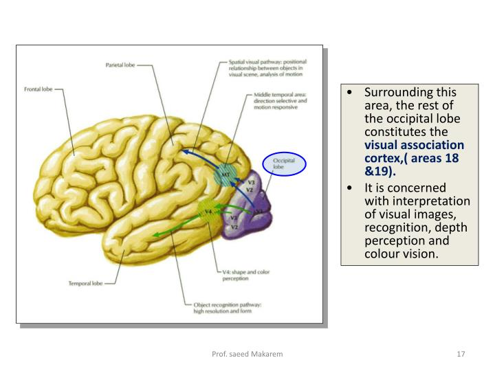 Surrounding this area, the rest of the occipital lobe constitutes the