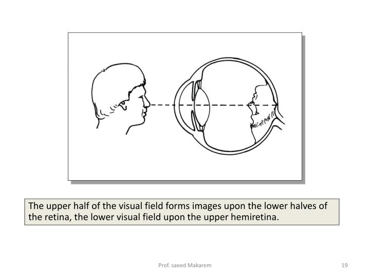 The upper half of the visual field forms images upon the lower halves of the retina, the lower visual field upon the upper hemiretina.