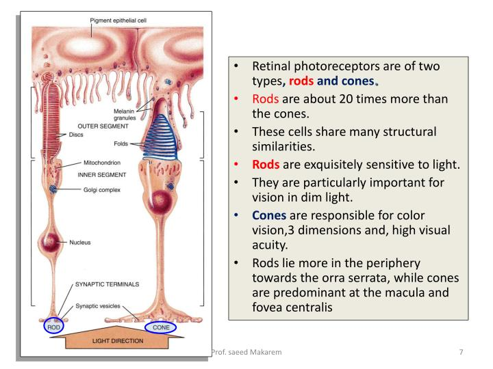 Retinal photoreceptors are of two types