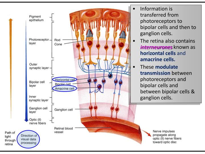 Information is transferred from photoreceptors to bipolar cells and then to ganglion