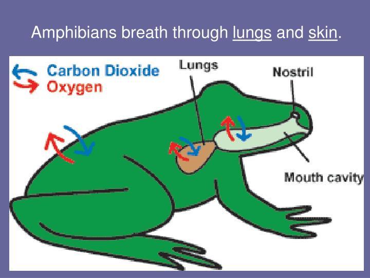Amphibians breath through