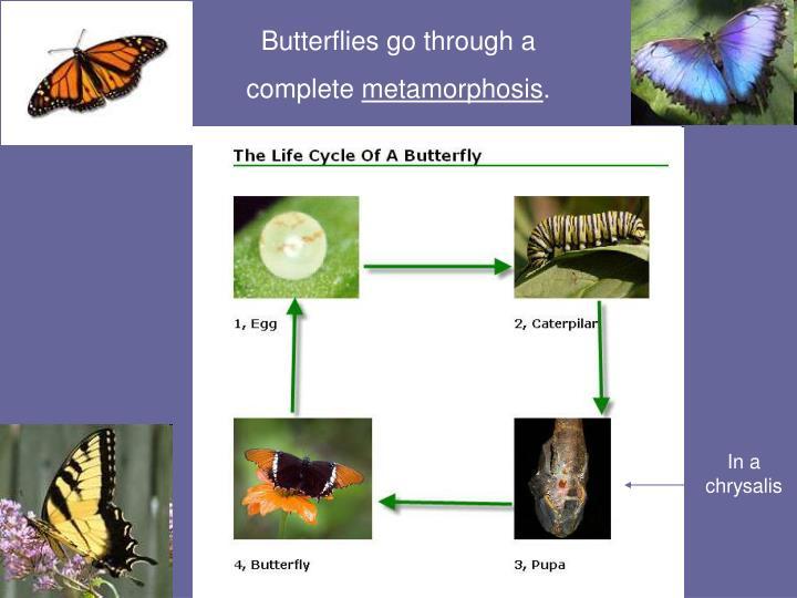 Butterflies go through a