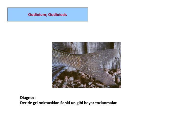 Oodinium; Oodiniosis