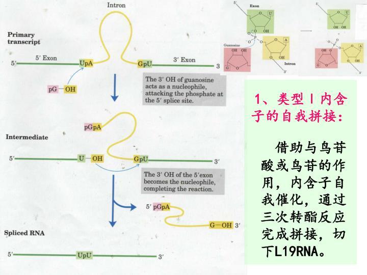 1、类型Ⅰ内含子的自我拼接:
