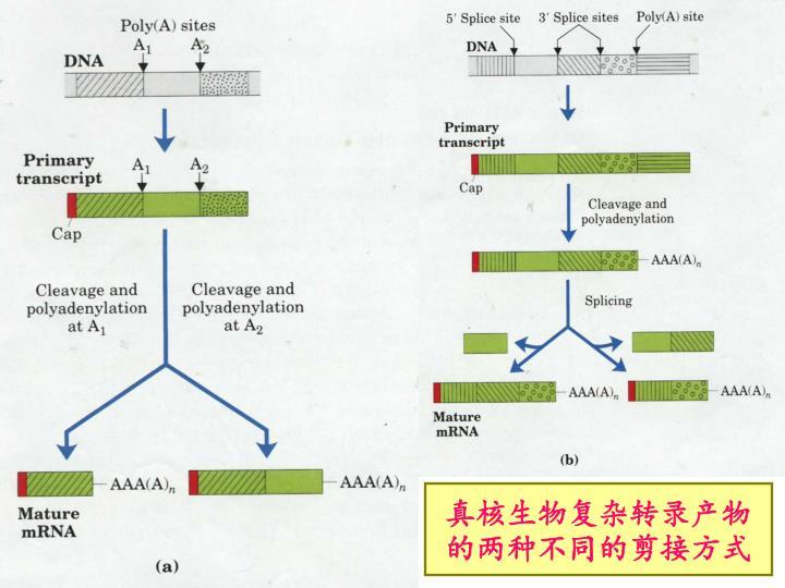 真核生物复杂转录产物的两种不同的剪接方式