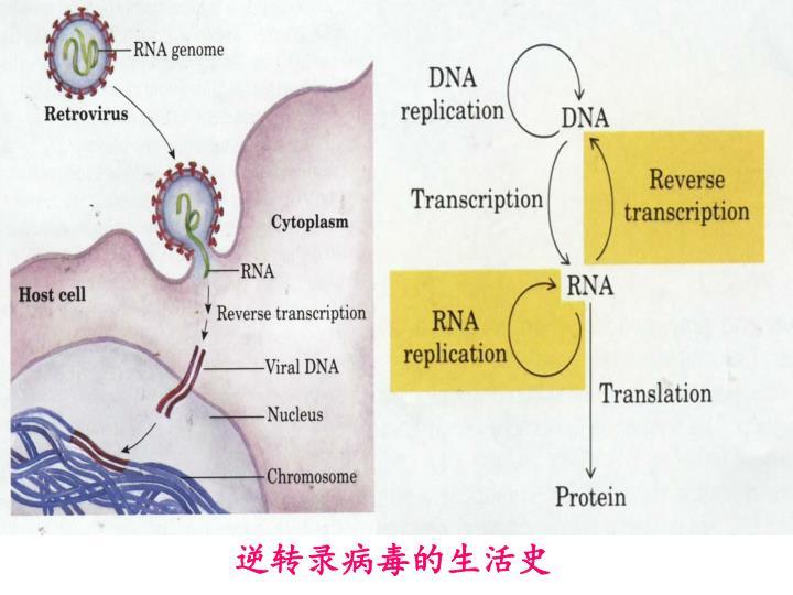 逆转录病毒的生活史