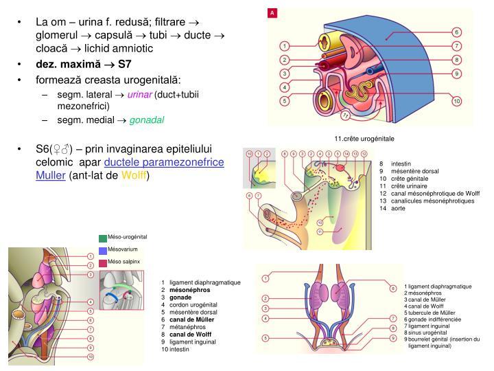 La om – urina f. redusă; filtrare