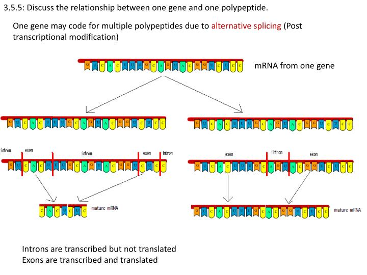 3.5.5: Discuss the relationship between one gene and one polypeptide.