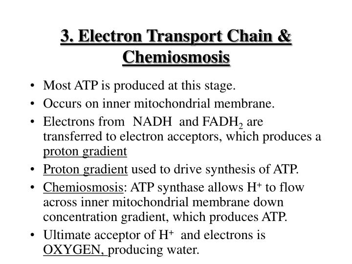 3. Electron Transport Chain & Chemiosmosis