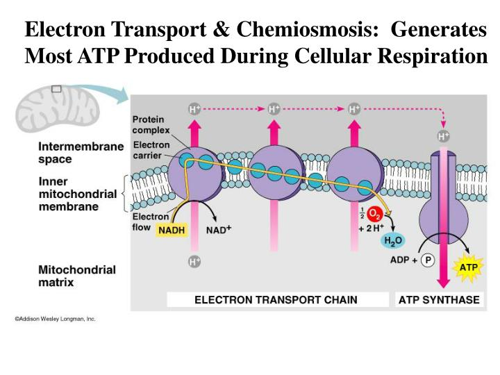 Electron Transport & Chemiosmosis:  Generates