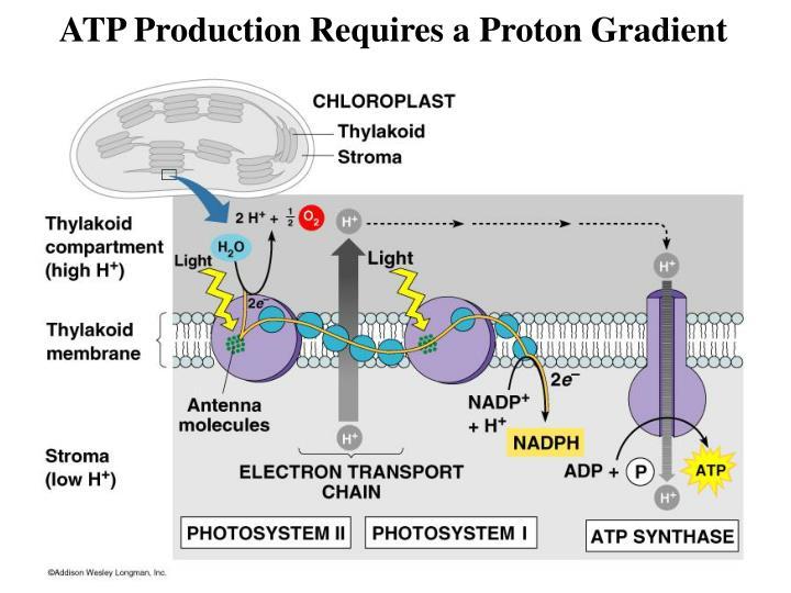 ATP Production Requires a Proton Gradient